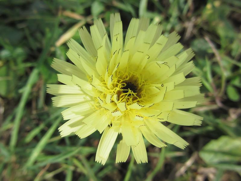 Il barbabuch, pianta erbacea perenne chiamata in piemontese Tragopogon o barba di becco